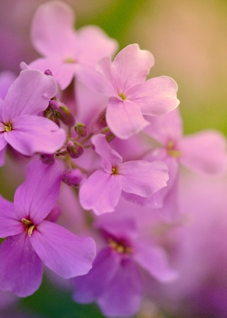 gillyflower: Pink blosoms of rocket or gillyflower; shallow DOF Stock Photo