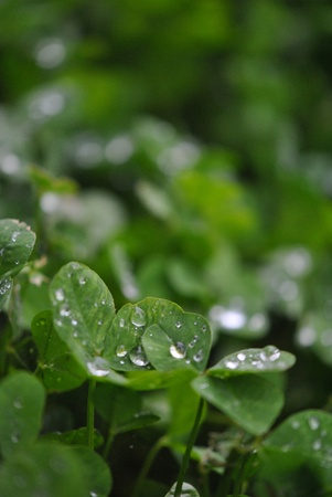Clover after the rain Stock Photo - 13570751