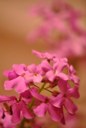 gillyflower: Pink rocket flower closeup; soft focus   Lots of copy space  Stock Photo