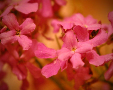 gillyflower: Pink flower closeup; soft focus   Nice background for text  Stock Photo