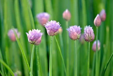 herb garden: Chive blossoms just opening