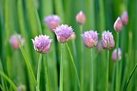 cebollines: Flores de cebollino recien inauguradas