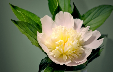 The peony flower in Chinese tradition is a symbol of riches and honor  Stock Photo - 13630511