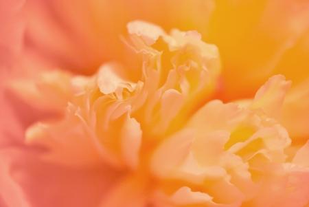 牡丹の花の極端なクローズ アップから抽象的な背景浅い自由度