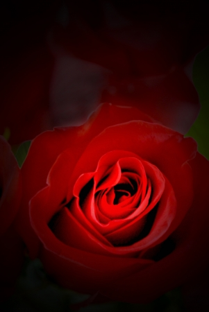 Red rose emerging mysteriously from a black background.
