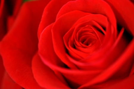 Red, red rose; soft focus.  Great background. Stock Photo