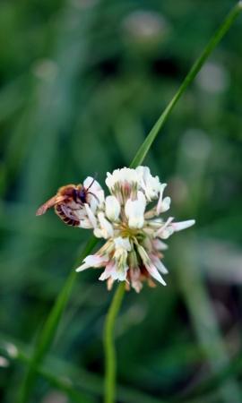 Honeybee feeding on white clover   Shallow DOF, photo