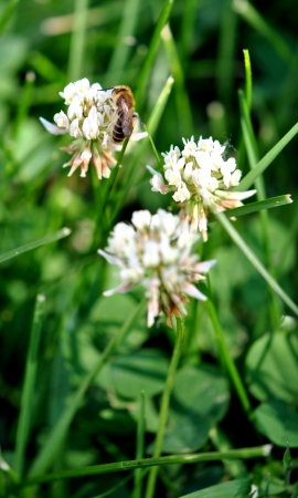 Honeybee feeding on white clover   Shallow DOF, focus is on the bees head and front leg  photo