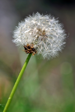 disseminate: A seed head of the dandelion