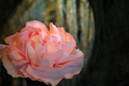 ramantic: Carnation flower Stock Photo