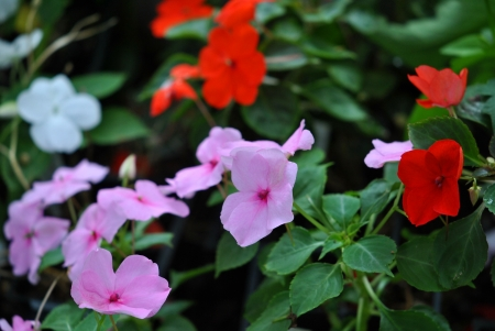 Impatiens, a shade-loving annual flower, was called patience in Victorian times
