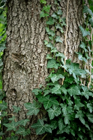 twining: Ivy climbing the trunk of a tree  Stock Photo