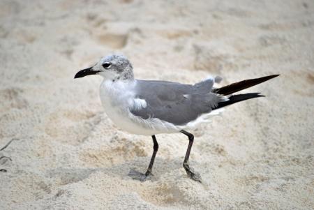 Seagull running across the sand