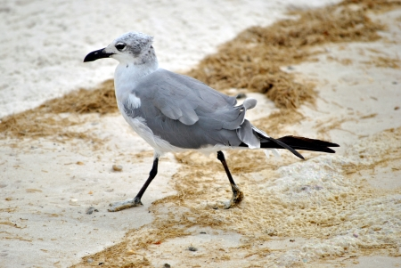 With feathers ruffled by the sea breeze, the seagull scurries up the sand to escape an incoming wave