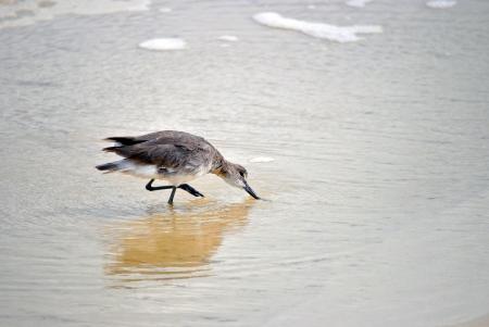 sandbar: Sandpiper wading in the shallows behind a sandbar, northwestern, USA, Gulf of Mexico