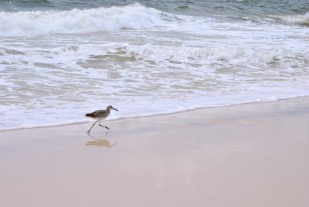 Sandpiper et son reflet courir à travers le sable humide au bord de l'eau Banque d'images - 15469400