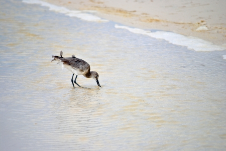 Sandpiper probes the sand and finds a tasty morsel