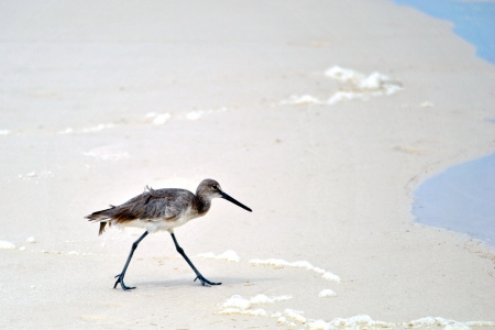 Sandpiper walking across the sand Stock Photo