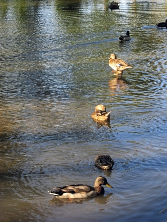 Mallards enjoy the dappled sunlight of late afternoon  photo