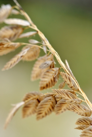 sea oats: A panicle of sea oats  Uniola paniculata is a protected species of grass, which  retains sand dunes and barrier islands along the Gulf and Atlantic coasts of the USA  Stock Photo