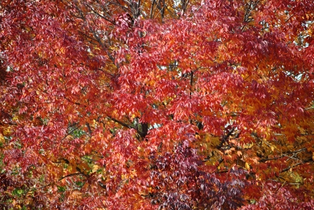 Tree showing autum color in leaves