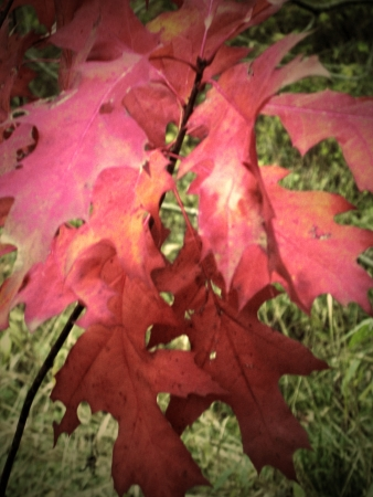 Red autumn foliage of the oak; closeup Stock Photo - 15846400