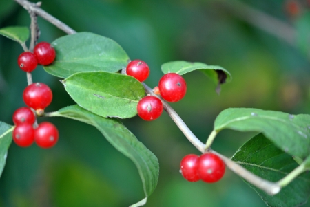 Red berries and green leaves of bush honeysuckle; beautiful but toxic to humans   Lonicera Maackii