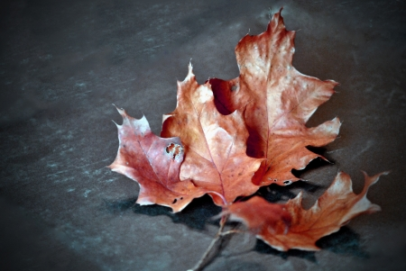 Oak leaf cluster showing autumn colors isolated against dark neutral background