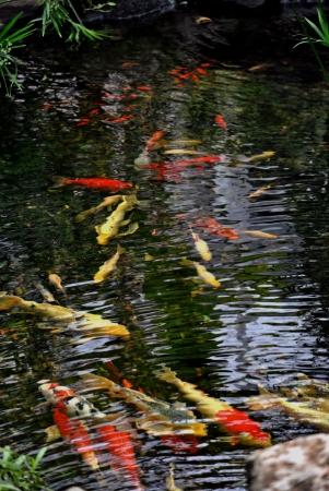 koi pond: The koi pond