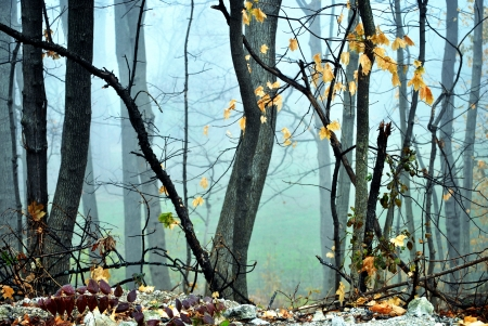woodsy: Maple tree trunks swathed in a heavy morning fog  Stock Photo