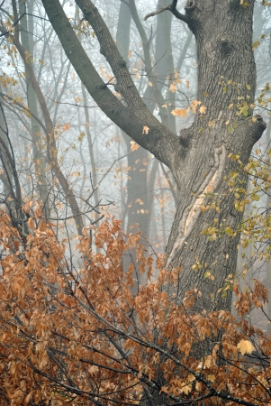 Autumn woods in the fog Stock Photo - 16486214