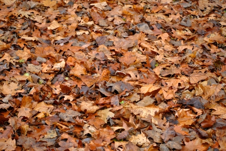 The ground is covered with fallen oak and maple leaves  Stock Photo - 16531177