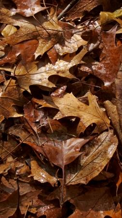 glistening: Oak leaves glistening with morning dewdrops.