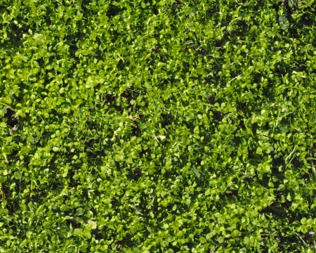 ground cover: Ground cover; masses of tiny green leaves