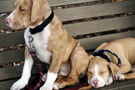 Two cute pit bull puppies on a park bench  photo