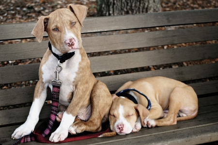 guarding: Two cute pit bull puppies on a park bench  Stock Photo