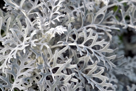 Grey leaves of Dusty Miller bring light to a shade garden