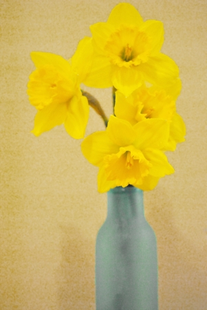 Yellow daffodils in a blue frosted glass bottle  photo