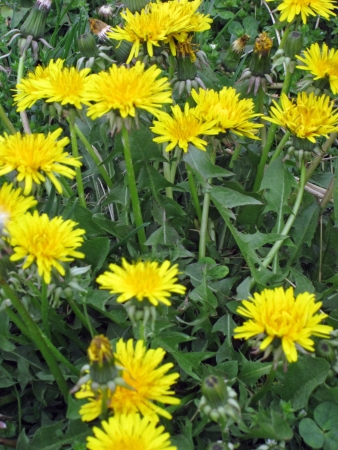 lobes: The deeply cut lobes of its foliage inspired the dandelion s name  lion s tooth  Stock Photo