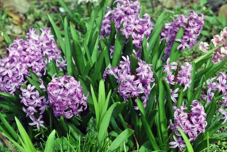 hyacinths: Purple hyacinths Stock Photo