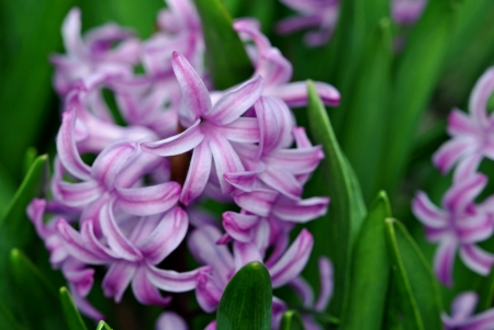 hyacinths: Purple hyacinths Stock Photo