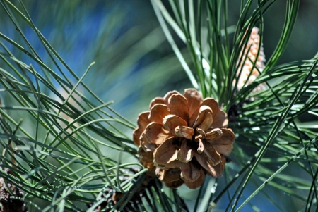 Pine cones ripening on the branch of the tree Stock Photo - 19760620