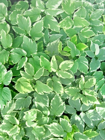 Bishop s weed ground cover plant Stok Fotoğraf - 20486981
