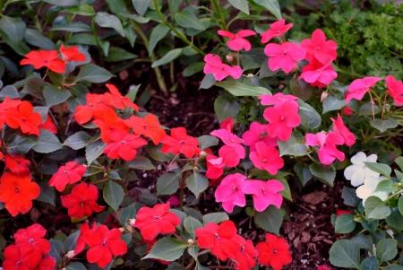 impatiens: Border of impatiens for the shade garden