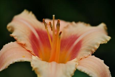 day lily: Pink day lily, hemerocallis; closeup  Stock Photo