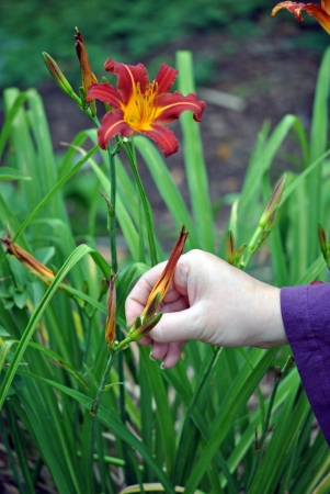 Deadheading; removing spent blossoms every day keeps the garden looking its best