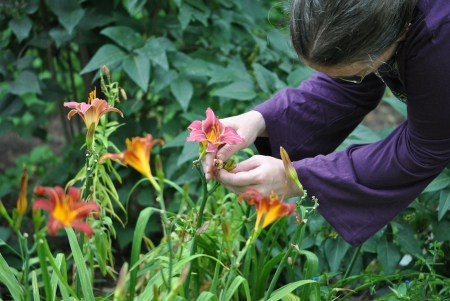 Woman deadheading flowers; removing spent blossoms every day keeps the garden looking its best  Stock Photo