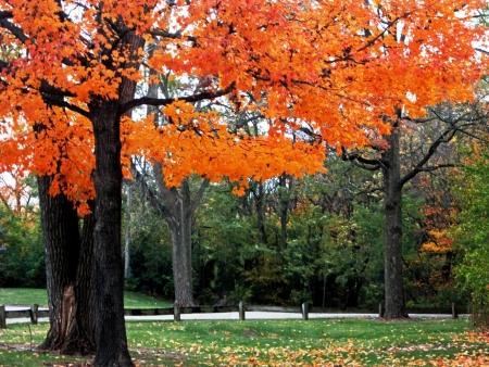 Oak trees display autumn color  Stock Photo