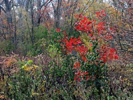brighten: Red oak saplings brighten the autumn woods