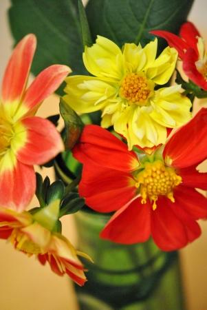 Bright yellow and orange dahlias Stock Photo - 21762270